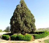 Le cyprès d'Abarkouh, âgé de 4500 ans, est le deuxième arbre le plus vieux du monde